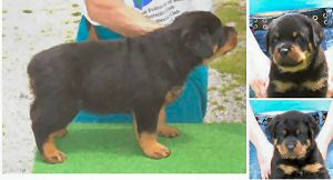 rottweiler puppies in Indiana